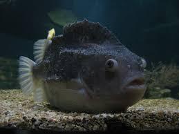 Lungfish
